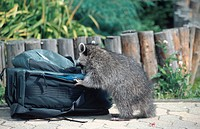 common raccoon Procyon lotor, looking in a rucksack, Germany