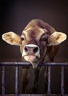 domestic cattle Bos primigenius f. taurus, calf in stable
