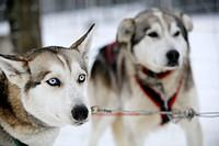 Huskies at Saariselkä, Finnish Lapland. Ivalo, Finland.