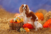 Cavalier King Charles Spaniel, blenheim / straw, pumpkins, side