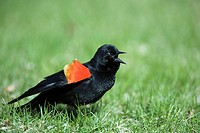 Red_winged Blackbird, male, Montreal, Canada / Agelaius phoeniceus