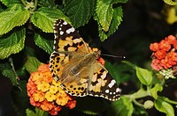 Painted Lady Vanessa cardui, adult on lantana, Oberaegeri, Switzerland, Europe