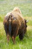 Bison Bison bison