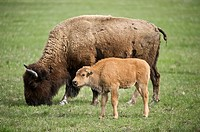 Bison Bison bison, cow with calf