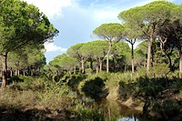 umbrella pine Pinus pinea, pine forest in the Maremma, Italy, Tuscany, Maremma