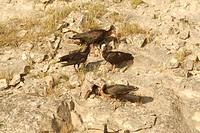 hermit ibis Geronticus eremita, foraging, Turkey