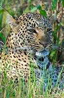 Leopard (Panthera pardus), resting in the grass, portrait, Masai Mara Nature Reserve, Kenya, East Africa