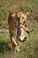 Lion Panthera leo, lioness carrying cub in mouth, Masia Mara, national park, Kenya, East Africa