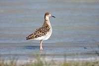 Ruff (Philimachus pugnax), in basic plumage at Lake Darscho, Apetlon, Neusiedl am See district district, Burgenland, Austria, Europe