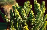 Araucaria Araucaria muelleri, branches