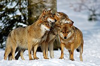 European gray wolf Canis lupus lupus, social behaviour