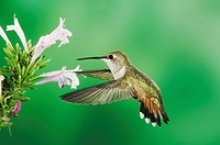 Rufous Hummingbird (Selasphorus rufus), immature in flight feeding on Mexican Oregano flower (Poliomintha maderensis), Paradise, Portal, Chiricahua Mo...