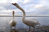 mute swan Cygnus olor, couple at the riverbank, Germany