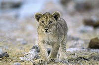 lion Panthera leo, Lion cup, South Africa