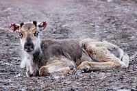 reindeer Rangifer tarandus, young reindeer with bloody ears, Sweden, Lappland, Norbotten