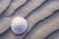 Close up of sand dollar on rippled beach