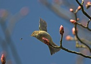 Chiffchaff Phylloscops collybita, hunting a fly