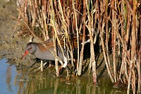 Water Rail (Rallus aquaticus) bathing, Titchfield Haven National Nature Reserve, Hampshire, England, UK
