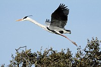 Grey Heron Ardea cinerea, in flight landing at nest, Portugal
