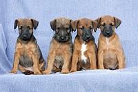 Westfalia / Westfalen Terrier, four puppies sitting in a row, Germany
