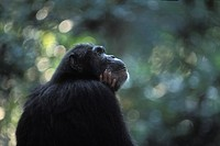 common chimpanzee Pan troglodytes, portrait in dense forest, Tanzania, Gombe Stream National Park