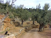 olive tree Olea europaea ssp. sativa, olive grove between terraces, Spain, Majorca