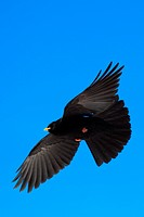 alpine chough Pyrrhocorax graculus, flying, Switzerland