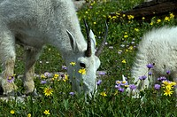 mountain goats, oreamnos americanus, glacier national park, USA, Montana, meadow, flowers, nature, young, animal