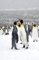 king penguin Aptenodytes patagonicus, colony in the snow with two individuals showing mating display, Antarctica, Suedgeorgien