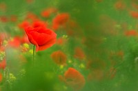 common poppy, corn poppy, red poppy Papaver rhoeas, in a field, Austria, Burgenland, Naturpark Neusiedler See
