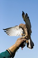 Common Kestrel (Falco tinnunculus), with spread wings on the hand of a falconer, wildlife park, Daun, Vulkaneifel area, Rhineland Palatinate, Germany,...
