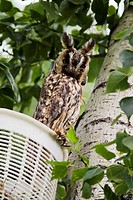 long_eared owl Asio otus, adult, Austria, Burgenland, Neusiedler See