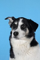 mixed breed dog Canis lupus f. familiaris, portrait of Husky mongrel