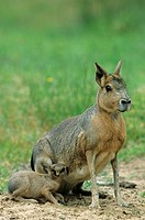 Patagonian mara Dolichotis patagonum suckling pup, Schleswig_Holstein, Germany, close_up