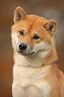Shiba Inu Canis lupus f. familiaris, portrait