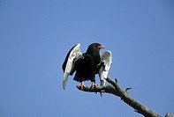 bateleur eagle Terathopius ecaudatus, single animal on a branch