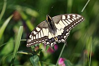 Swalowtail Butterfly Papilio machaon resting on plant, Germany