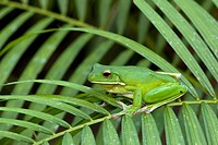 White-lipped Tree Frog, Litoria infrafrenata, Mission Beach, Queensland, Australia