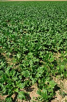 Green potato field with potato plants