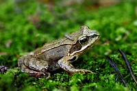 moor frog Rana arvalis, sitting on moss, Germany
