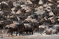 blue wildebeest, brindled gnu, white_bearded wildebeest Connochaetes taurinus, during river crossing, Kenya, Masai Mara National Reserve