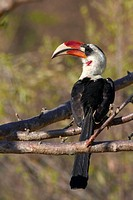 von der decken´s hornbill Tockus deckeni, male, Kenya, Tsavo West National Park