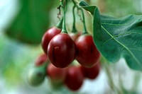 tree tomato Cyphomandra betacea, Cyphomandra crassicaulis, fruits