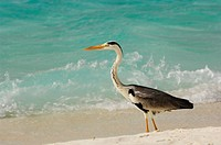Grey Heron (Ardea cinerea) on the beach, Laguna Resort, The Maldives, Indian Ocean