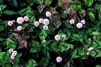 Himalayan smartweed Polygonum capitatum, Persicaria capitata