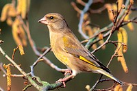 western greenfinch Carduelis chloris, sitting on branch, Germany