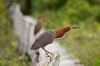 Rufescent Tiger Heron _ standing / Tigrisoma lineatum