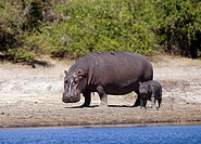 Hippopotamus with cub at the water / Hippopotamus amphibius