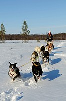Team of sledge dogs on a tour in the Pasvik_valley, Melkefoss, Finnmark, Lapland, Norway, Scandinavia, Europe