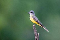 Couch´s Kingbird Tyrannus couchii perching on a branch